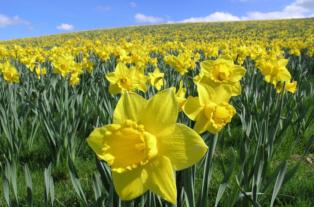 Enjoying Your Daffodils